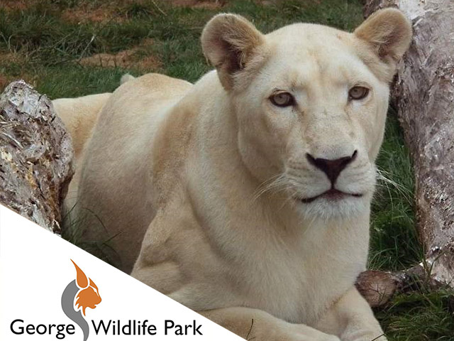 See a Real Life White Lion in George